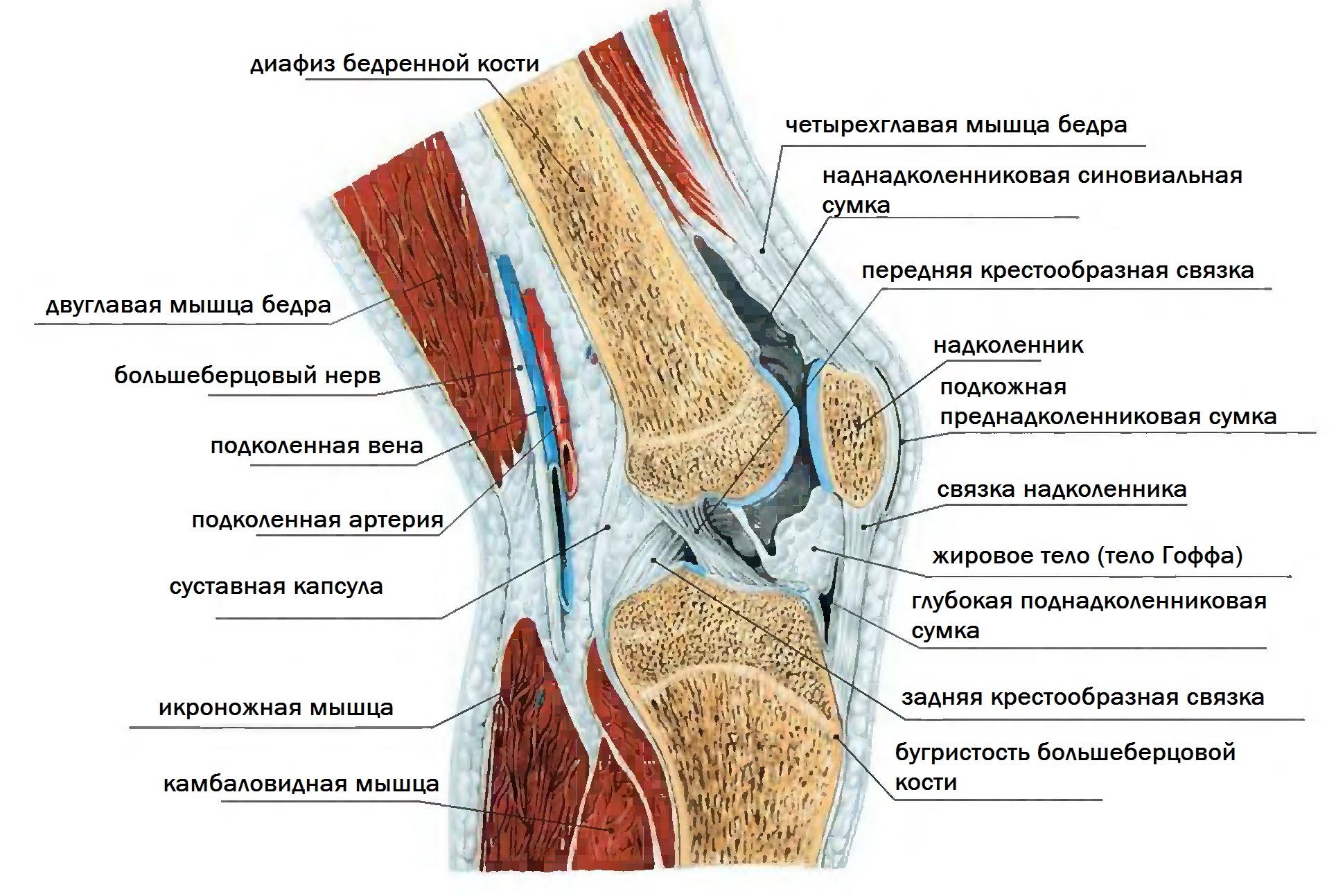 Анатомия сочленения