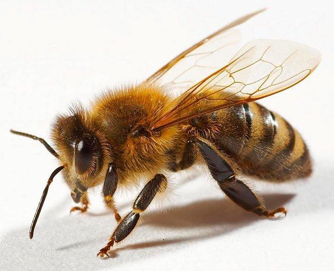 Апитерапия – лечение пчелами