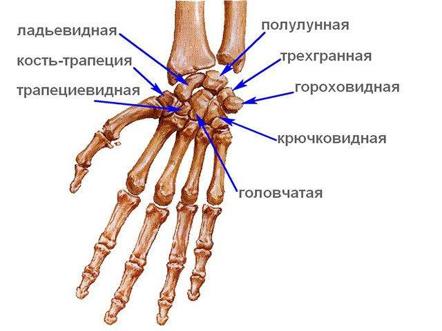 Запястье состоит из восьми небольших косточек