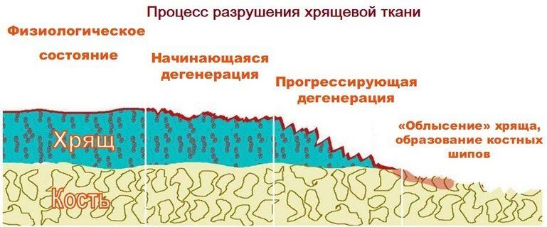 Особенности строения хрящевой ткани