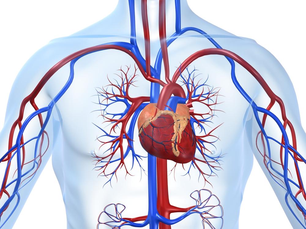 Изменениями в функциональности отдела кровообращения.