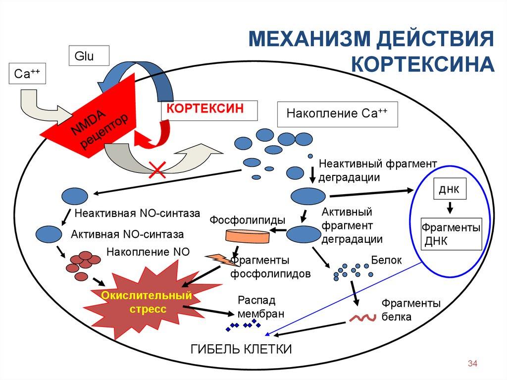 Механизм действия Кортексина